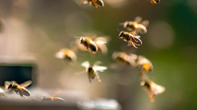 Man sieht einen Schwarm Honigbienen.