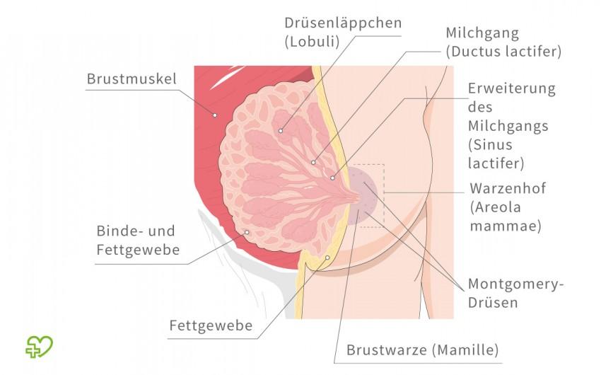 Drüsen schwangerschaft montgomery Schwanger? Das