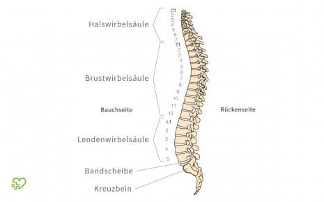 Der Rücken: Man sieht die schematische Darstellung der Wirbelsäule.