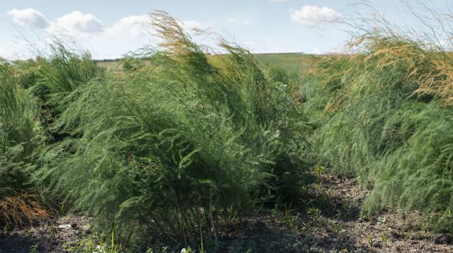 Man sieht Spargelpflanzen nach der Saison auf einem Feld
